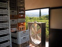 Grapes drying for the sweet wines