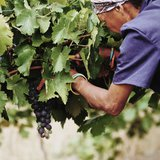 Harvesting grapes in South Africa