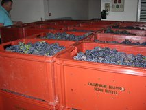 Pinot Noir ready for pressing