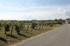 St. Veran vines, Chardonnay grape