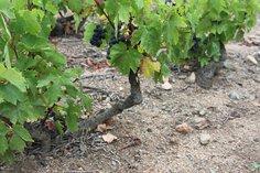 Vines at la Bouronière