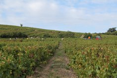 Harvesting grapes of Domaine Pierre Savoye in the Côte du Py, Sept 2016