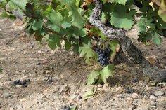 40-year old vines in Domaine Pierre Savoye, Côte du Py