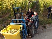 Gathering grapes at Schlossberg