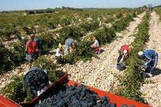Picking grapes at Domaine de Nalys