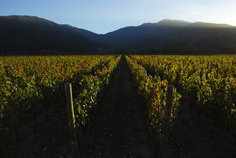 Vines in the marvellous Apalta Valley