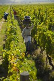 Select grapes are harvested by hand