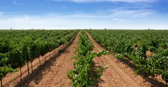 Vineyards of Ayuso