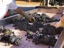 Sorting and grading grapes after harvest