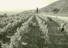 Grapes during harvest