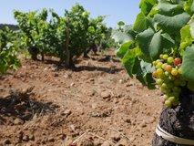 Grenache grapes ripening, July 2016