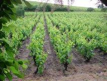 Vines overlooking Domaine Savoye