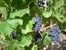 Gamay grapes in the Côte du Py