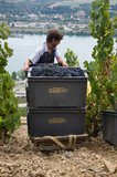Harvesting grapes from the Côte-Rôtie hillside
