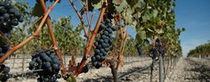 Callejo grapes before harvest
