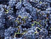 Naudet Pinot Noir grapes for the Sancerre rouge