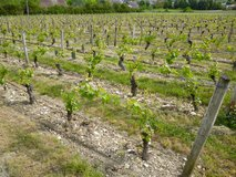 Well pruned 25 year old vines in Michel's vineyard