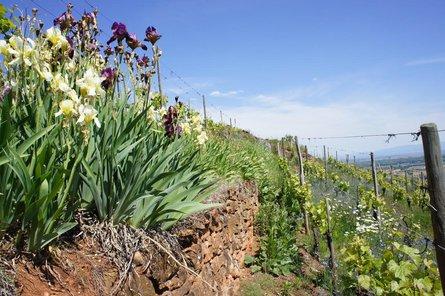 Summer of Alsace